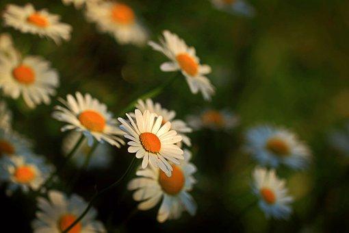 ヒナギク, 花, メドーMargerite, 植物, 自然, 野生の花, 花序