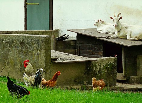 Goats, Chickens, Animals, Country Life
