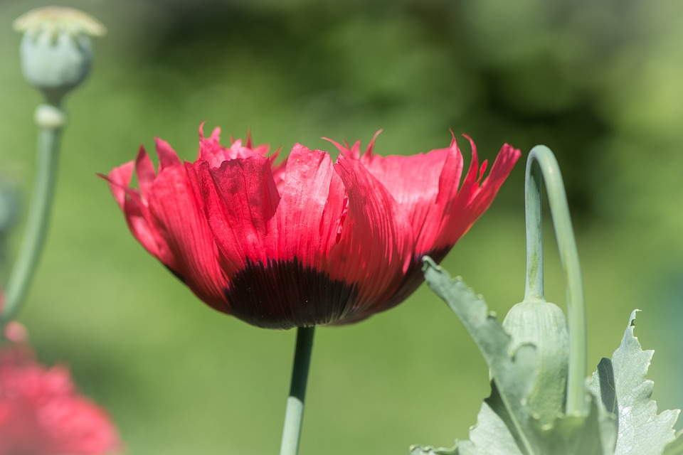 free photo poppy, red, red poppy, poppy flower  free image on, Beautiful flower
