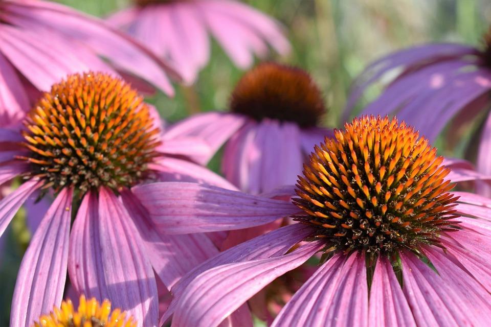 Free photo: Echinacea,...