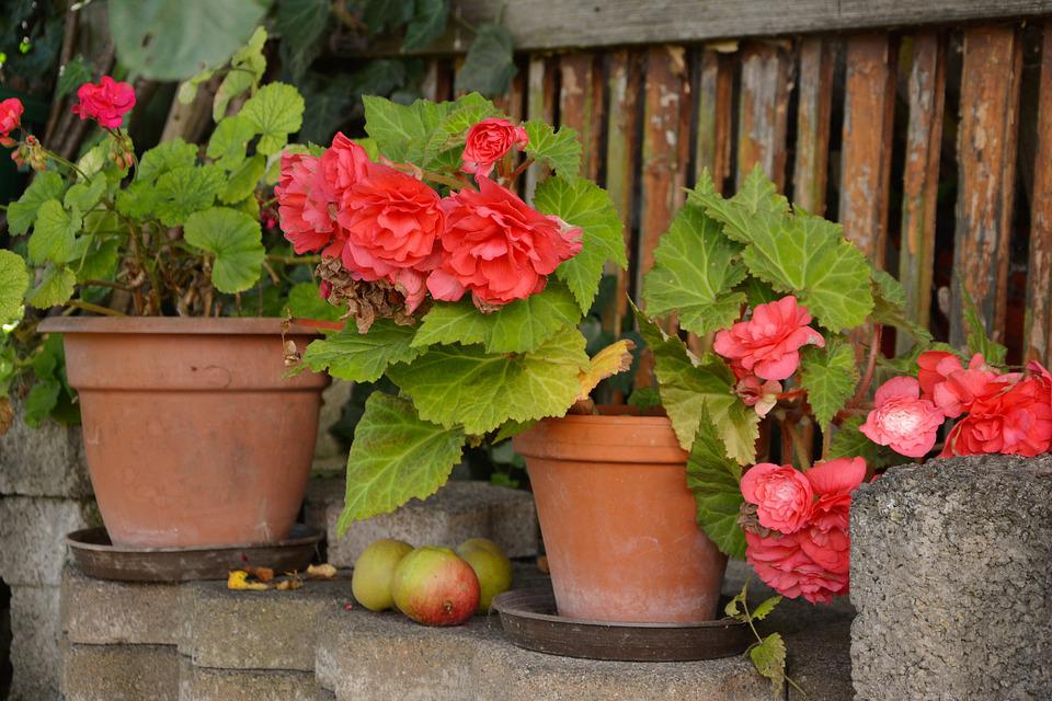 Begonias Macetas Flores En Maceta Foto gratis en Pixabay
