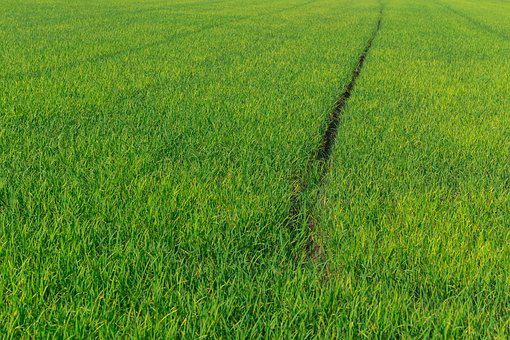 Cornfield, Rice, Green, Agriculture