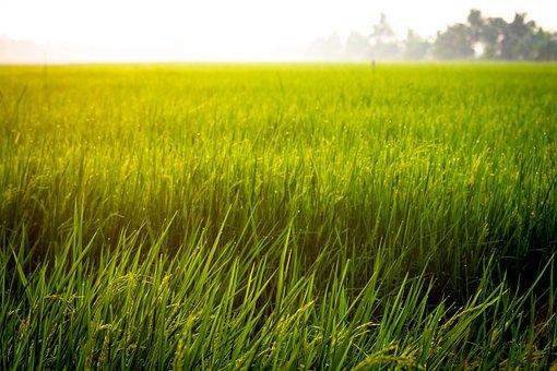Farm, Rice, Field, Asian, Agriculture