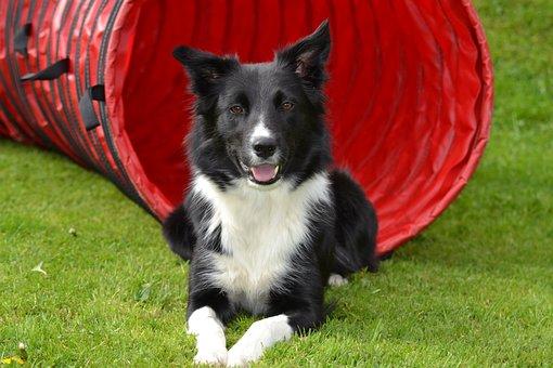 Dog, Border Collie, Sorry, Landscape