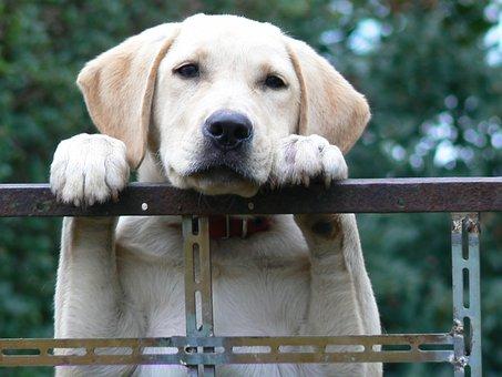 Dog, Labrador, Pet, Attentive