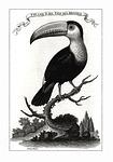 toucan, bird, brazilian
