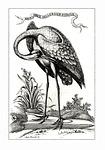 sandhill crane, bird, fowl