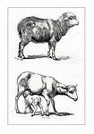 sheep, lamb, wool