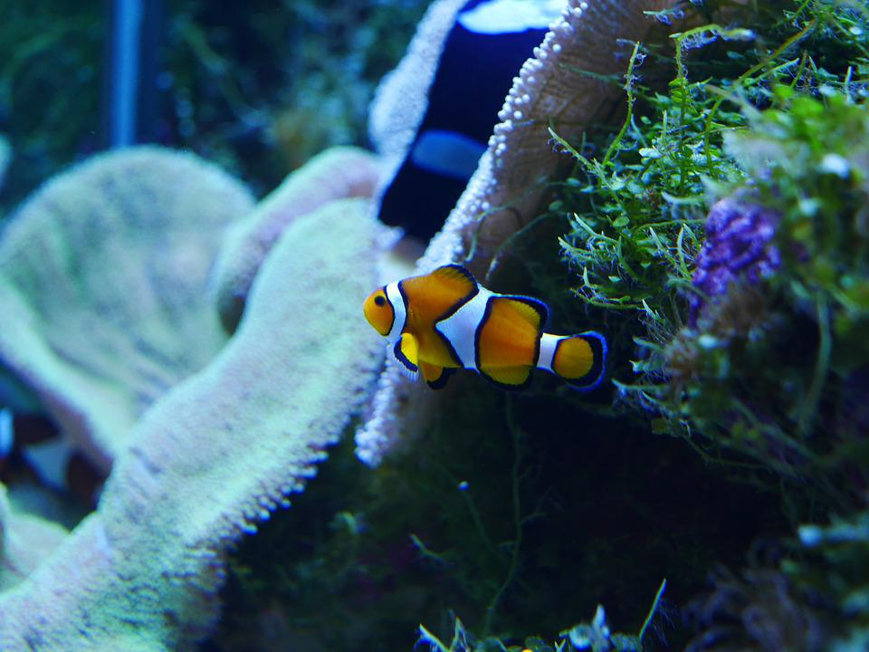 Free photo: Nemo, Finding Nemo, Clownfish - Free Image on Pixabay ...