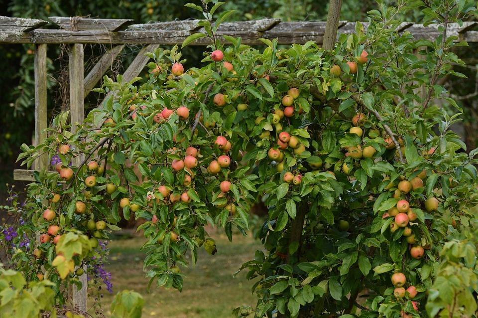 Apple Tree, Apple, Ripe, Garden, Fruit, Harvest