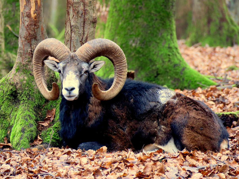 Mouflon, Aries, Horns, Male, Wild Animal, Horned, Horn