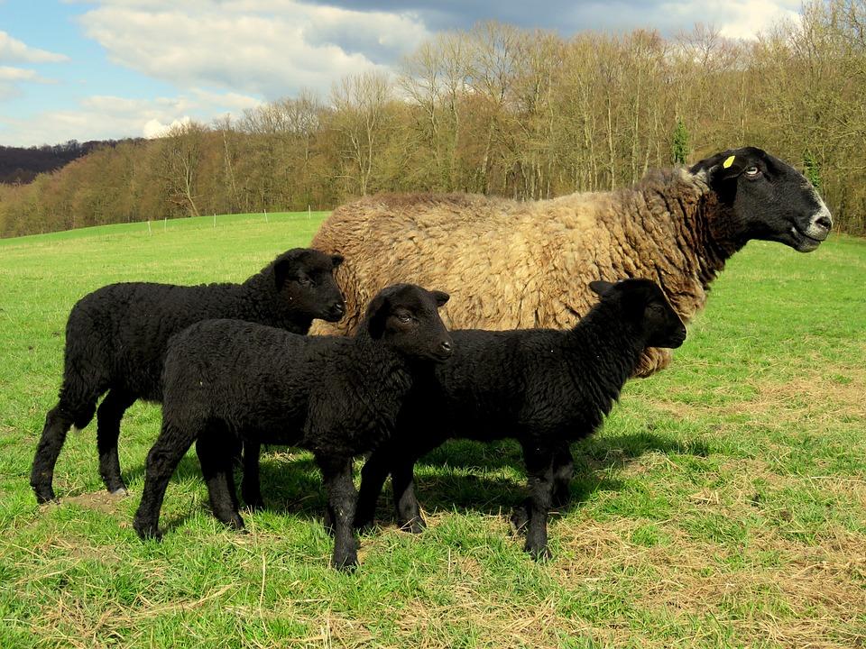 Får, Mamma, Lamb, Lamm, Black Sheep, Betesmark, Äng