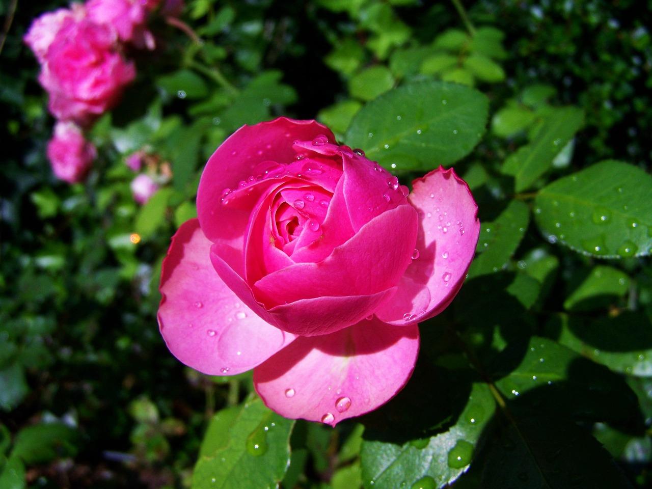 玫瑰刺高清摄影图片下载-玫瑰刺正版摄影图-千图网摄影图库