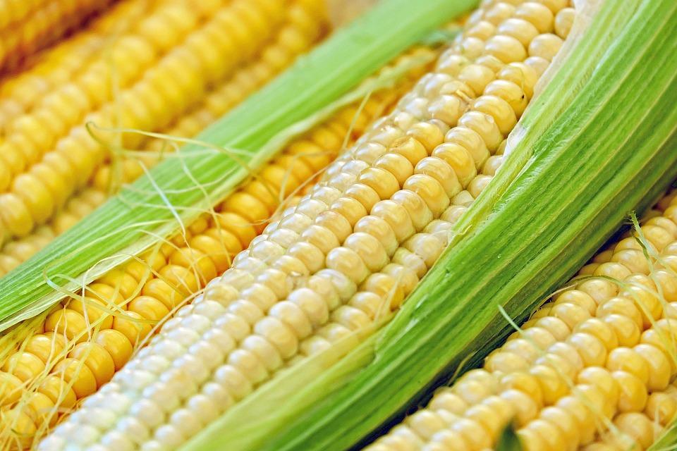 Corn, Corn On The Cob, Piston, Young, Fresh, Plant