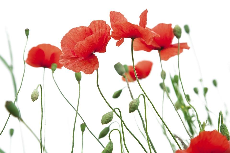 Poppy Flower White Free Photo On Pixabay