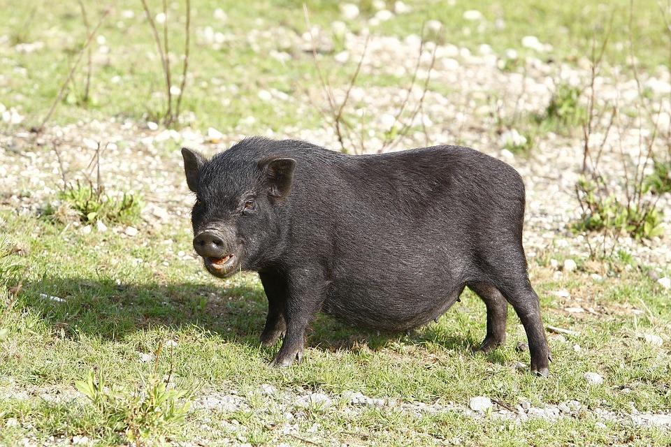 73 Gambar Babi Warna Hitam