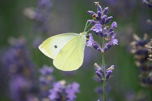 植物, ラベンダー色の花, 夏, 小さなキャベツ白陵