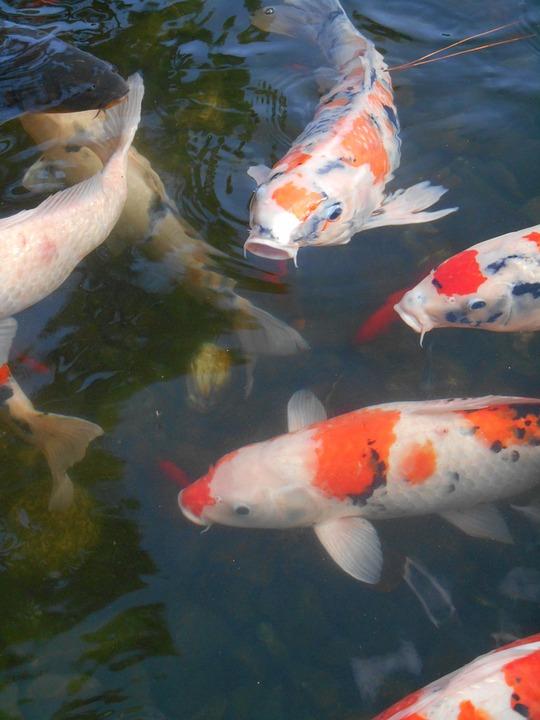 4dbb85ed729907 Farvet Karper, Karpe, Fisk, Akvariefisk, Rød Og Hvid