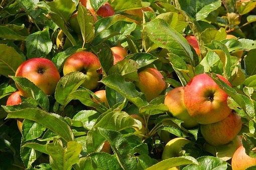 Apple Tree Apple Fruit Tree Fruits Garden