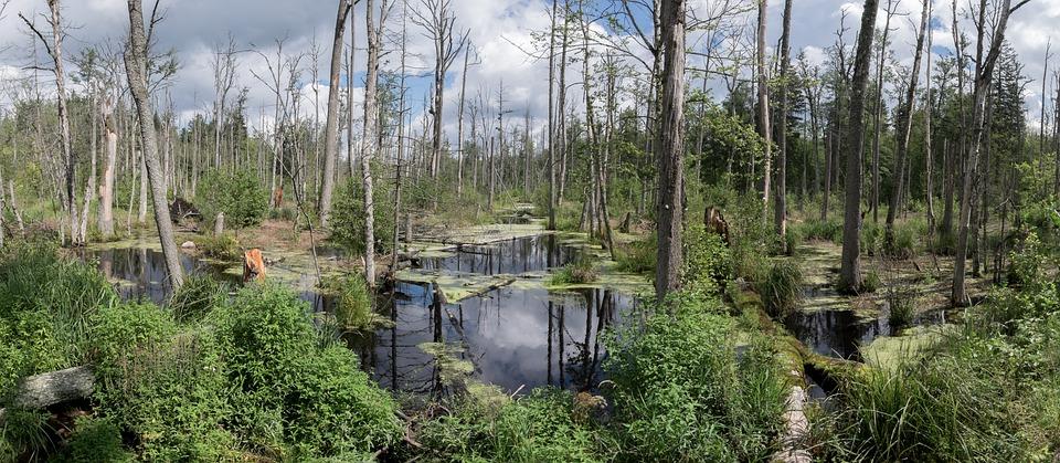 Marsh, Puszcza Białowieska, Las, Wody, Polska, Panorama