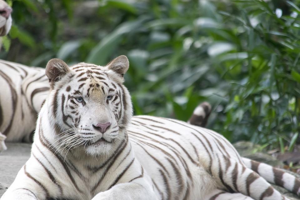 Tigre blanc tigres cat photo gratuite sur pixabay - Images tigres gratuites ...