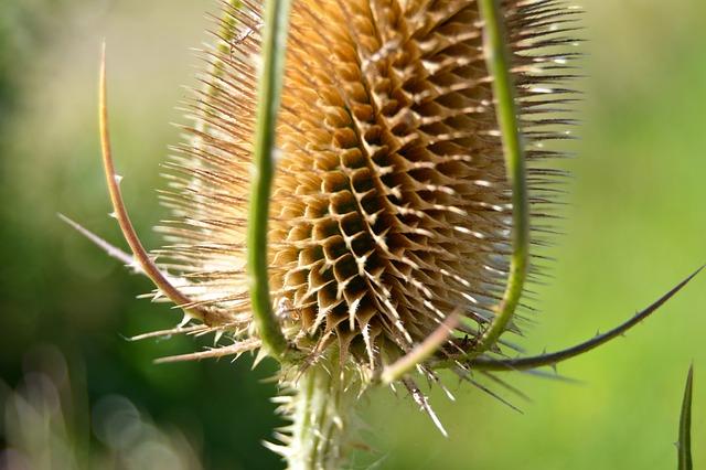 Thistle Dry Head Wild · Free photo on Pixabay