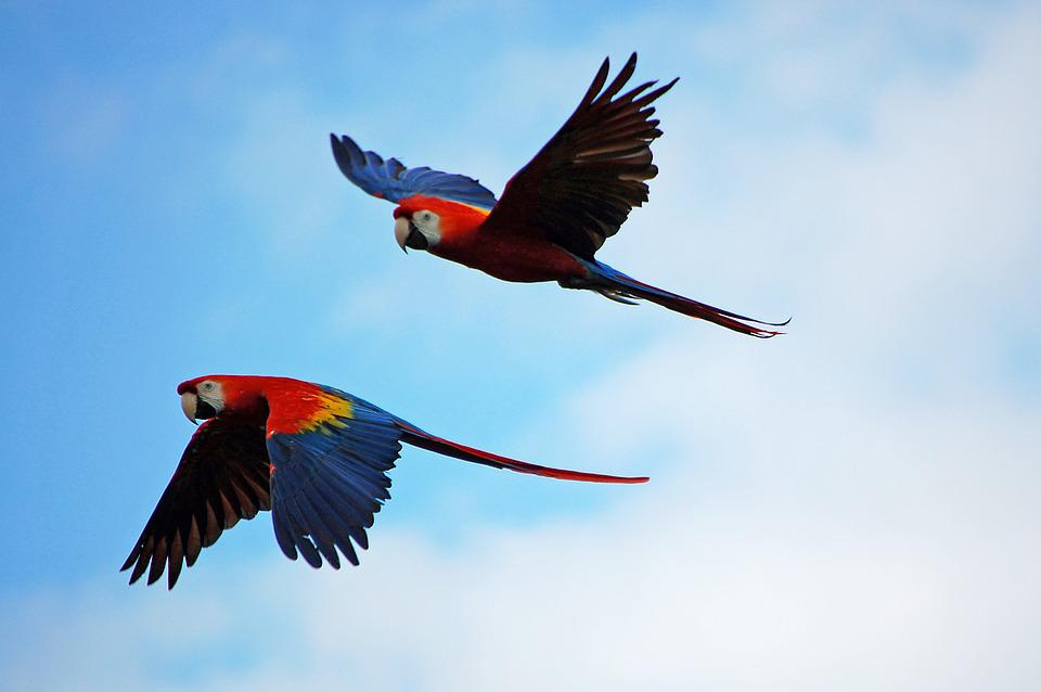 Red Macaw Parrot Flying Free photo: Parrots, P...