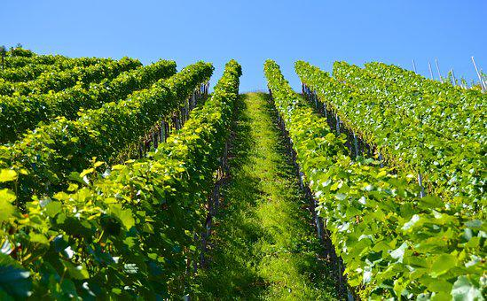 Vineyard, Series, Mountain, Landscape