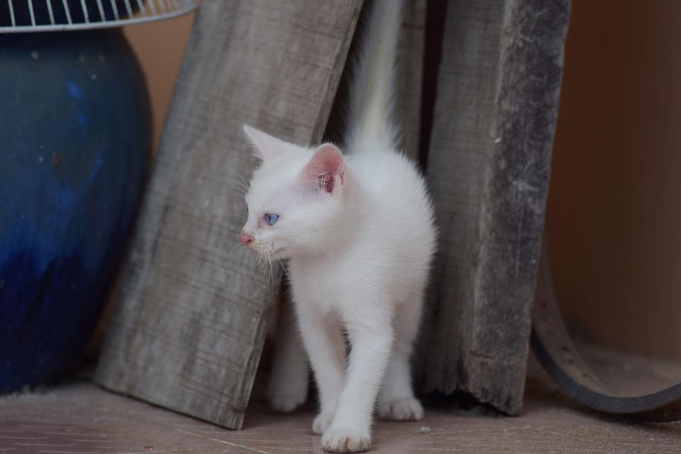 20a62040a6ce Γατάκι Άσπρο Άσπρη Γάτα - Δωρεάν φωτογραφία στο Pixabay
