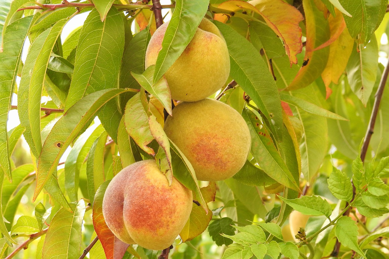 Картинки персиково дерева