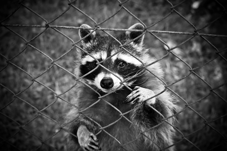 Raccoon, Animal, Animal World, Wildlife Park, Zoo