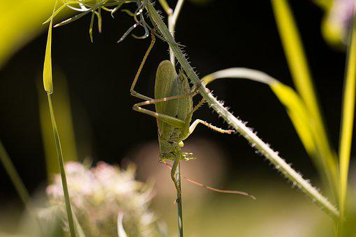 Grasshopper, Insect, Animal, Close