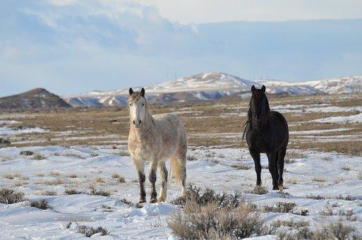 Horses, Mustangs, Wild, Equine, Freedom