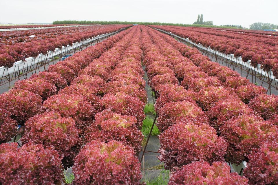 Roter Kopfsalat, Frisee, Gartenbau, Landwirtschaft