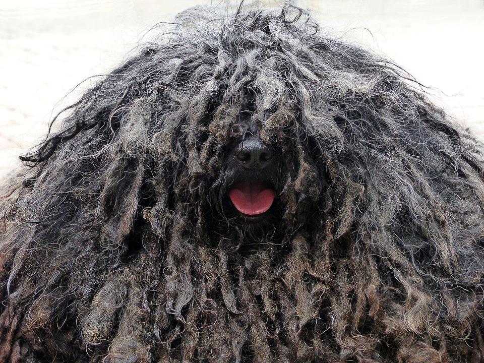 1e09435e758 Dog Rasta Braids Shaggy - Free photo on Pixabay
