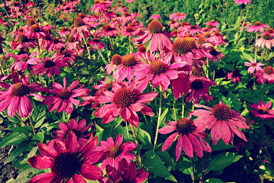 【色別】菊の花言葉・由来・怖い意味はある?|白/紫/ピンク