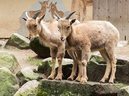 Goats, Stone, Billy Goat, Nature