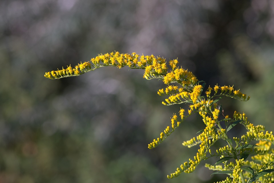 Yellow flowers branch small free photo on pixabay yellow flowers branch small flowers shrubs colorful mightylinksfo