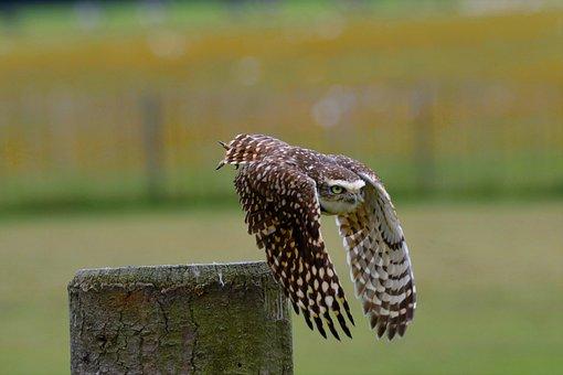 Burrowing Owl, Kleine Eule, Vogel