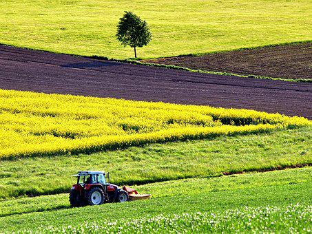 Agriculture, Field Of Rapeseeds, Field