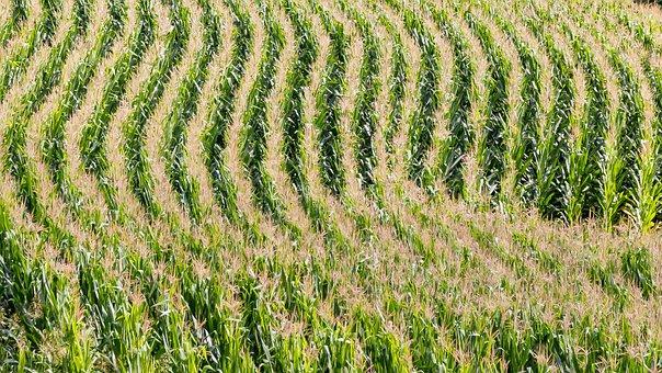 Field, Agriculture, Corn, Cornfield