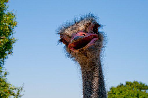 https://cdn.pixabay.com/photo/2016/08/25/22/27/ostrich-1620818__340.jpg