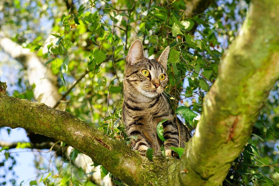 Katze, Stubentiger, Baum, Klettern, Haustier
