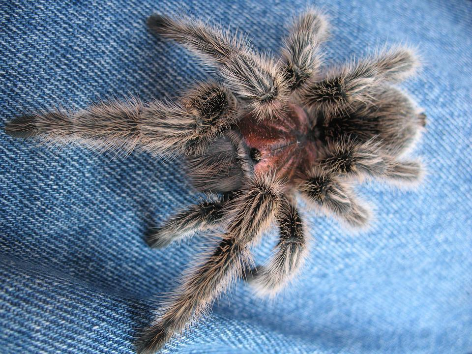 Free Photo Arthropods Spider Tarantula Free Image On