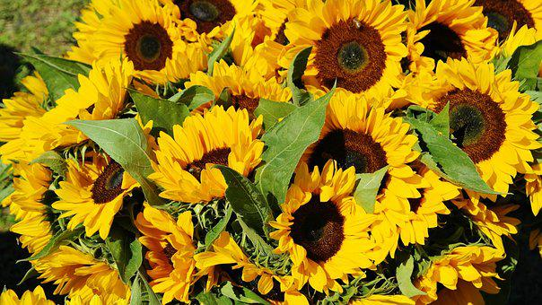 Sunflower, Sunflower Field, Bouquet