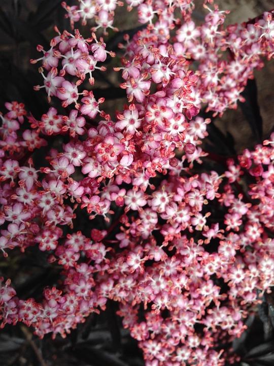 Tiny flowers pink free photo on pixabay tiny flowers pink flowers elderberry blossoms mightylinksfo