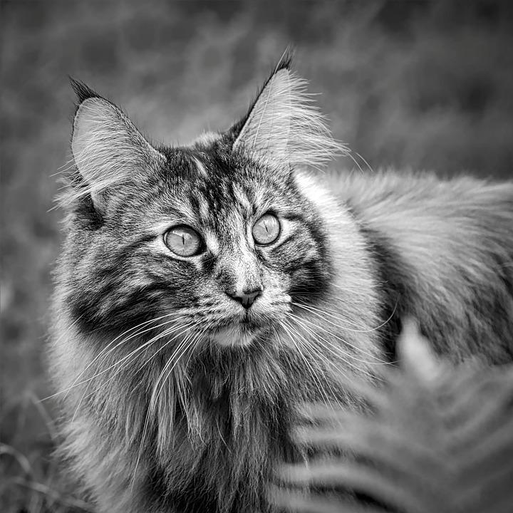 Maine Coon, Black And White Cat, Cat, Longhair Cat