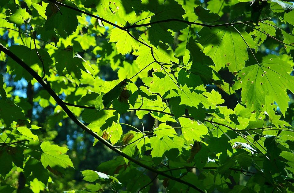 maple leaf leaves  u00b7 free photo on pixabay