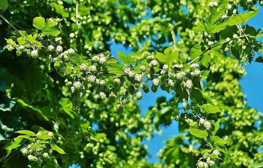 hops-1626735__340.jpg