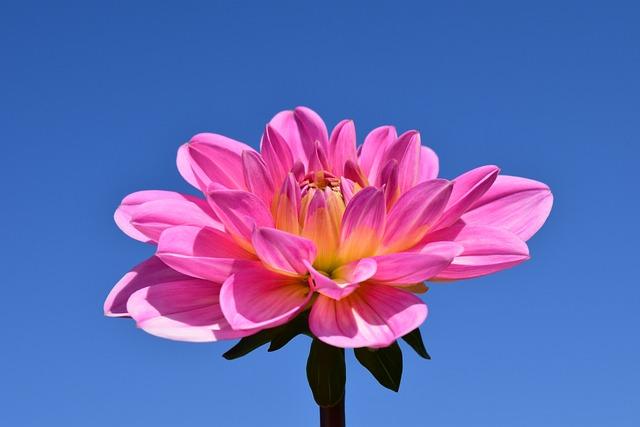 free photo  dahlia  blossom  bloom  flower - free image on pixabay